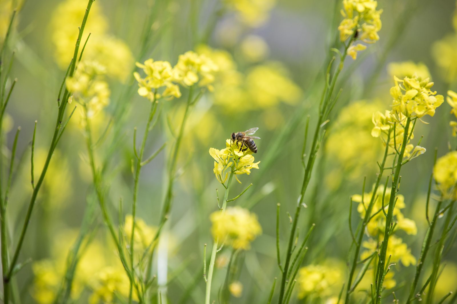 bee-yellow-flowers
